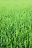 Rice field from Thailand — Stock Photo