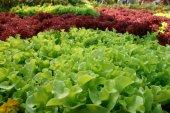 Taze yeşil marul salatası — Stok fotoğraf