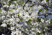 Flor de cerejeira — Fotografia Stock