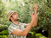 Farmer is harvesting olives and checking the state of maturity — Stock Photo