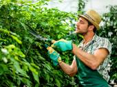 Farmer pruning plants in a greenhouse — Stock Photo