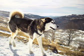 Suberian husky walking along a mountain slope — Stock Photo
