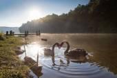 Pareja de cisnes en amor flotando en el agua al amanecer — Foto de Stock