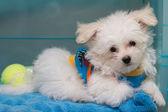 """Shih tzu"" puppy breed tiny dog , playfulness , loveliness — Stock Photo"