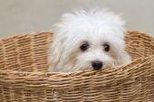 Shih tzu puppy breed tiny dog , playfulness , loveliness — Stock Photo