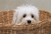 Shihtzu puppy breed tiny dog , playfulness , lovelines — Stock Photo