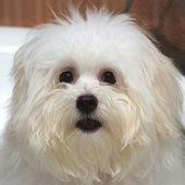 Shih tzu puppy breed tiny dog , age 6 month, playfulness, loveli — Stock Photo