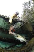Largemouth Bass Being Caught — Fotografia Stock