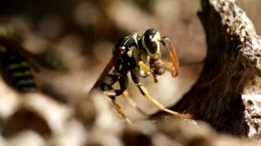 Wasp on lunch — Vídeo Stock