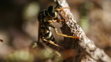 Wasp on lunch — Vídeo de Stock