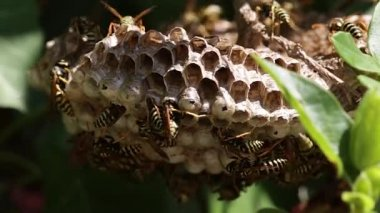 Wasps on nest — Vídeo Stock