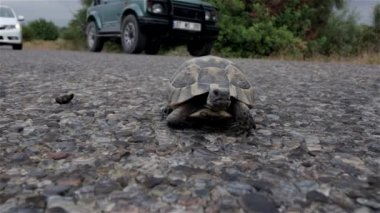Turtle on blacktop — Stock Video
