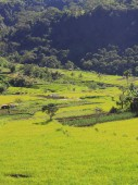 Rice field in Flores Indonesia — Stock Photo