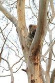 Wild Koala — Stockfoto