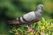 Pigeon stand on the  treetop — Stock Photo