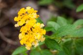 Lantana bloemen — Stockfoto