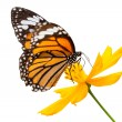 Monarch butterfly seeking nectar on a flower — Stock Photo #58991963