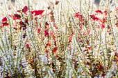 Skullcaplike Coleus blooming — Stok fotoğraf