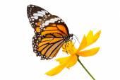 Monarch butterfly poszukiwaniu nektaru na kwiat — Zdjęcie stockowe