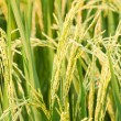 Rice plant in rice field — Stock Photo #59014077