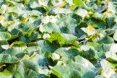 Water chestnut background — Stock Photo