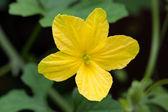 Bitter gourd's flower — Foto de Stock