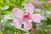 Vivid pink hibicus is blooming — Stock Photo