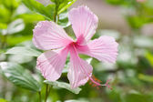 Fresh pink hibiscus flower — Stock Photo