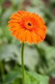 Beautiful Orange Gerbera — Stock Photo