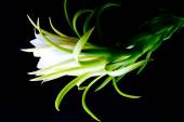 Dragon fruit flower — Stock Photo