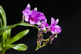 Purple orchids flower — Stock Photo