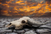 Buffalo skull in drought disaster land — Stock Photo