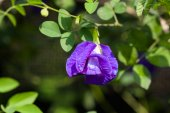 Butterfly pea flower in garden — Stock Photo