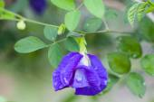Butterfly pea flower medicinal herbs to treat disease and certain types of food coloring to make purple toxic safe. — Foto de Stock