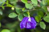 Butterfly pea flower medicinal herbs to treat disease and certain types of food coloring to make purple toxic safe. — Stock Photo