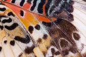 Macro close up of an Monarch Butterfly Wing — Stock Photo