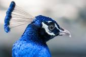 Close up image of a blue male peacock or peafowl — Stock Photo