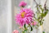 Pink aster closeup — Stock Photo