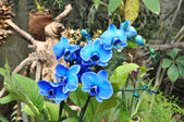 Blooming beautiful blue orchid in the garden — Stock Photo