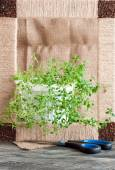 Thyme plant in a white pot on a rustic background — Stock Photo
