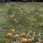 Pumpkin field harvest — Stock Photo #55453449