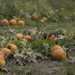 Pumpkin Field — Stock Photo #55453555