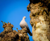 Mourning Dove — Stock Photo
