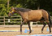 Horse lunging — ストック写真