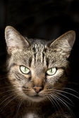 Cat Portrait on Dark Background — Stock Photo