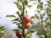 Apple Tree with mellow fruits — Stock Photo