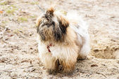 Wet dirty white brown shih tzu — Stock Photo