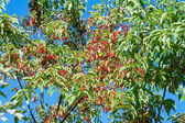 Red fruit on the tree — Stock Photo