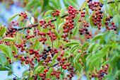 Black cherry fruit on the tree — Stock Photo