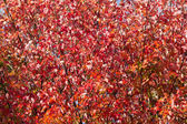 Japanese maple tree outumn red leaves — Stock Photo